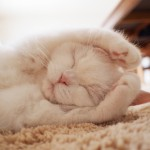 今Twitterで最も可愛い猫として話題の「うら」!猫好きにはたまらない写真を大公開!